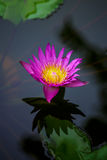 Lotus Background Photos stock