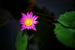 Lotus background. Lotus flower water blossom garden Stock Photos