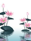 Lotus background. Lotus flowers reflected in the water surface Stock Images