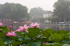 Lotus in Baihai Park, Beijing, with tourist boats in the backgro. Nelumbo nucifera (sacred lotus) is native to Asia Royalty Free Stock Photo