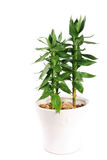 Lotus bamboo Stock Photo