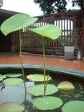 Lotus basin Royalty Free Stock Photography