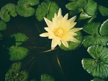 Lotus flower in the bath. Lotus in the bath in Thailand royalty free stock photos