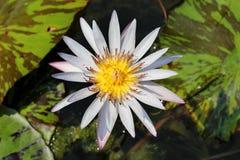 Lotus. The lotus is so beautiful Stock Photos