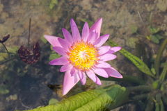 Lotus. The lotus is so beautiful Royalty Free Stock Photography