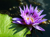 Lotus. Beautiful flower in nature Stock Photography