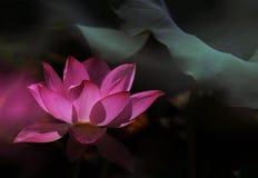 Lotus. Beautiful lotus, with 2 explosure Stock Image