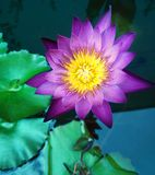 Lotus. Is beautiful flower stock photo
