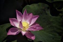Lotus. Beautiful lotus flower, blooming in the lake stock photos