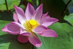 Lotus. Beautiful lotus flower, blooming in the lake stock images