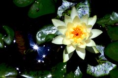 Lotus. Beautiful flower today Stock Photography