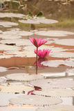 Lotus. Beautiful lotus flowers in the pool Stock Image
