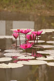 Lotus. Beautiful lotus flowers in the pool Stock Photo