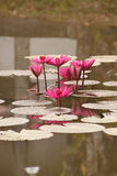Lotus. Beautiful lotus flowers in the pool Royalty Free Stock Images