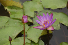 Lotus. Beautiful lotus flowers in the pool Royalty Free Stock Image
