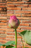 Lotus. Beautiful lotus near brick wall Royalty Free Stock Photography