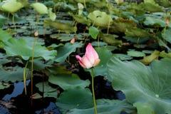 Lotus. Beautifull pink lotus Royalty Free Stock Image