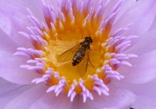 Lotus and bee. A close-up photo of a honey bee on the flower of the water lotus Royalty Free Stock Image