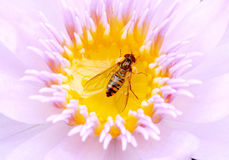 Lotus and bee. A close-up photo of a honey bee on the flower of the water lotus Stock Image