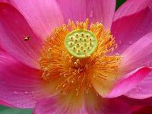 Lotus & Bee Stock Image