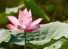 Lotus with Bee stock photography