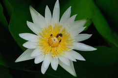 Insect on the white lotus Stock Images