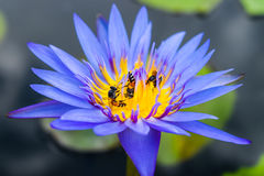 Lotus with bee Stock Photo