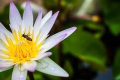 Lotus. Bee on beautiful lotus flower Stock Photography