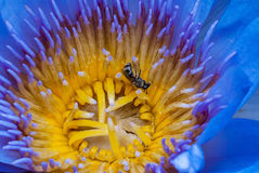 Lotus with bee. Beautiful Lotus, pollen with bee Stock Photo