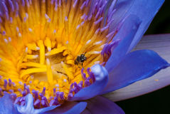 Lotus with bee. Beautiful Lotus, pollen with bee Stock Photos