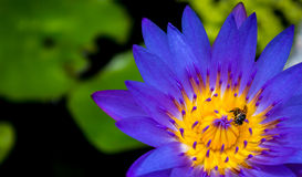 Lotus. Bee on beautiful purple lotus flower Royalty Free Stock Images