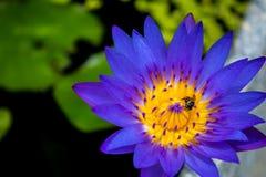 Lotus. Bee on beautiful purple lotus flower Stock Images