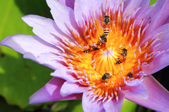 Lotus an bee. Close up of purple lotus and bee Royalty Free Stock Image