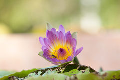 Lotus and bee inside. On water Royalty Free Stock Photos