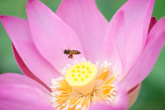 Lotus and bee. The lotus in the lake and the bee Stock Images