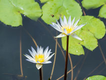 Lotus and bee Royalty Free Stock Image