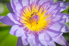The lotus and bee Stock Photography