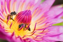 Lotus with bee. Pink lotus with bee feeding,The Lotus is a sacred flower for Buddhists Royalty Free Stock Photography
