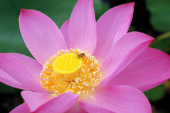 Lotus and bee Royalty Free Stock Photo
