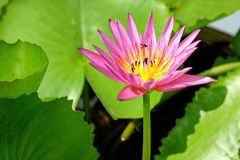 Lotus and bee. Pink lotus with bee in the garden Stock Photos