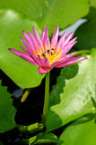 Lotus and bee. Pink lotus with bee in the garden Royalty Free Stock Photos