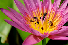 Lotus and bee. Pink lotus with bee in the garden Stock Images