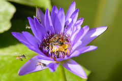 Lotus and Bee. Bee swarm in water lily, lotus in nature Royalty Free Stock Photo