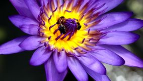 Lotus  with  bees stock footage