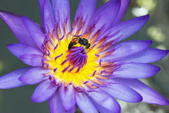 Lotus with  bees on pollen Royalty Free Stock Image