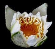 Lotus. Begin bloom lotus  whiteand yellow Royalty Free Stock Photography