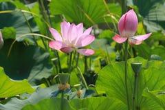 Lotus in Beijing Botanical Garden stock image
