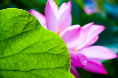 Lotus beind leaf Stock Image