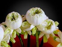 Lotus bianco Fotografia Stock Libera da Diritti