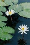 Lotus bianco nello stagno di loto in un giorno soleggiato Fotografia Stock